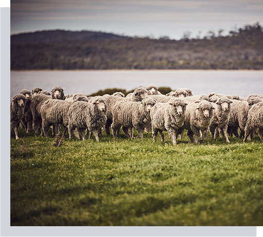 Wool-Production-Process_Sourcing